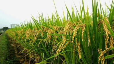 Hybrid Rice Seeds Market