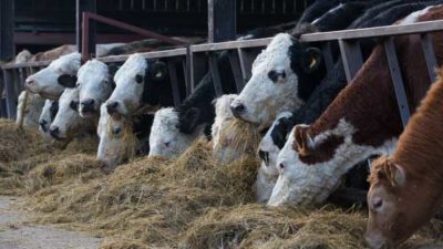 Cattle Feed and Feed Additives Market