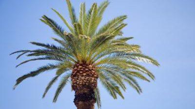Date Palm Market