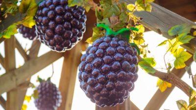 Boysenberry Market