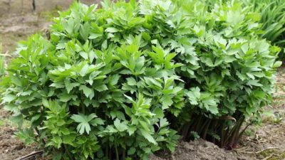 Lovage Extract Market