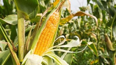Organic Corn Market
