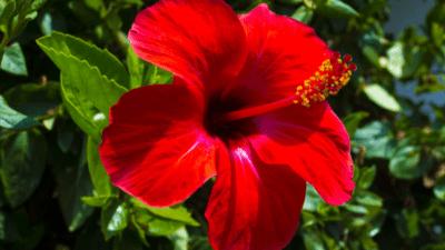 Hibiscus Flower Powder Market